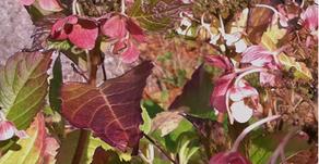 What's Up in the Garden - Hydrangea