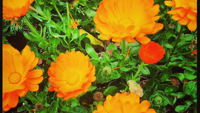 What's Up In The Garden ~ Calendula