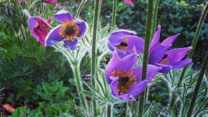 What's Up in Garden - Pulsatilla