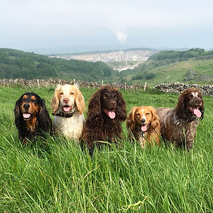 Our working cocker spaniels ready for action