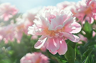 Pink flower Peony blooming on background