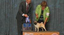 Pippa earns Major at Perry, GA Shows