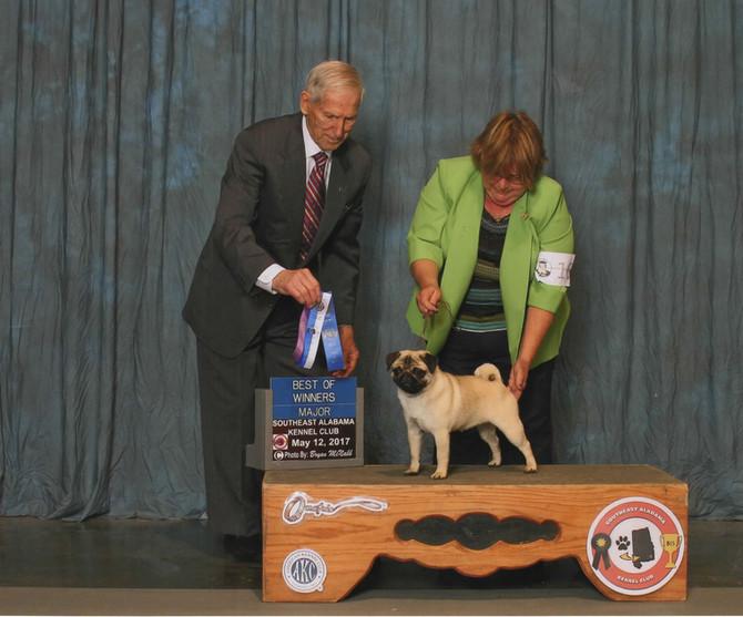 Pippa earns Major at Perry, GA Shows