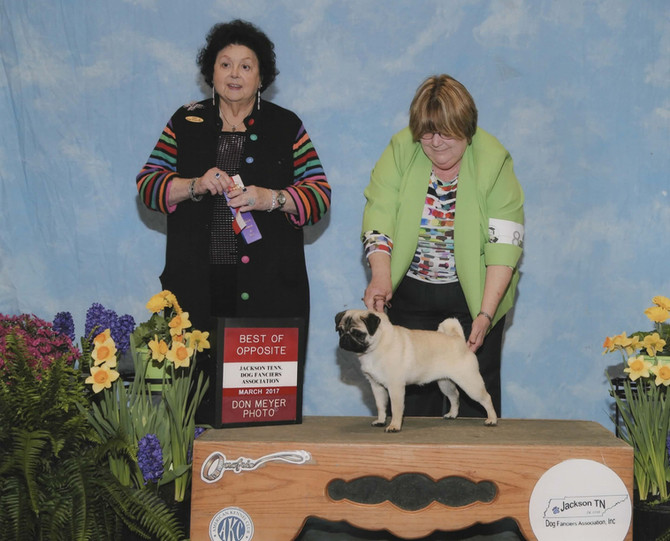 Pippa earns her first point from the Puppy Class