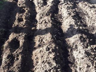 Plantamos ajos en el huerto