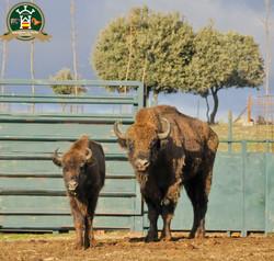 bisontes_pareja_DSC8816