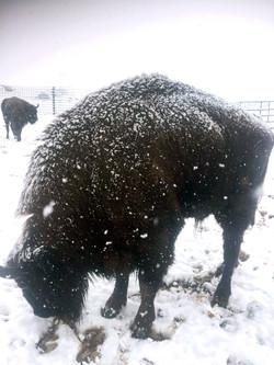 bisonte nevado