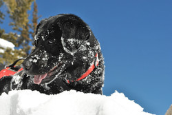 Tigger covered in fresh pow!