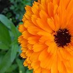 צמחי מרפא - קלנדולה