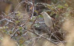 Северная бормотушка