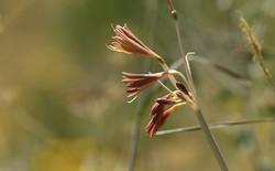 Ungernia sewerzowii