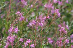 Chamaenerion latifolium