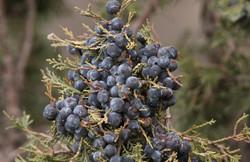 Juniperus semiglobosa
