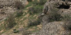 Long-legged Buzzard