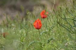 Tulipa greigi