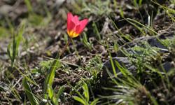 Tulipa greigi х Tulipa kaufmanniana