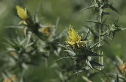 Сафлор туркестанский- Carthamus × turkestanicus