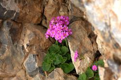 Primula minkwitziae