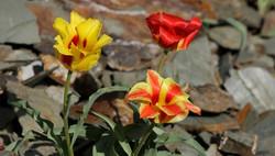 Тюльпан Грейга - Tulipa greigi