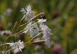 Dianthus hoeltzeri
