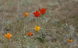 Тюльпан Лемана - Tulipa lehmanniana - 1
