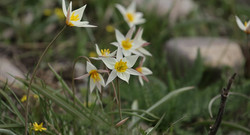 Тюльпан двуложноцветковый