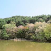 仁古田の新池(マレットゴルフ場)の山桜