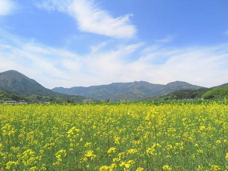 浦野の菜の花・ひまわり畑