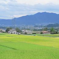 秋の収穫前の田んぼ