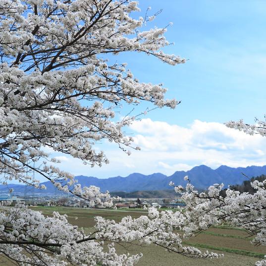下室賀の桜並木2
