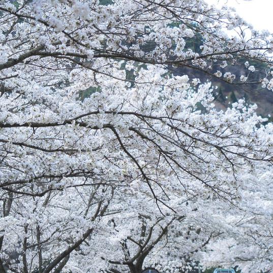 下室賀の桜並木3