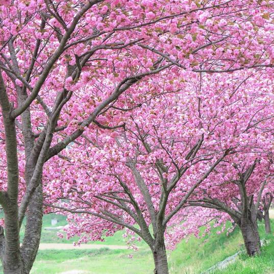 下室賀の桜並木