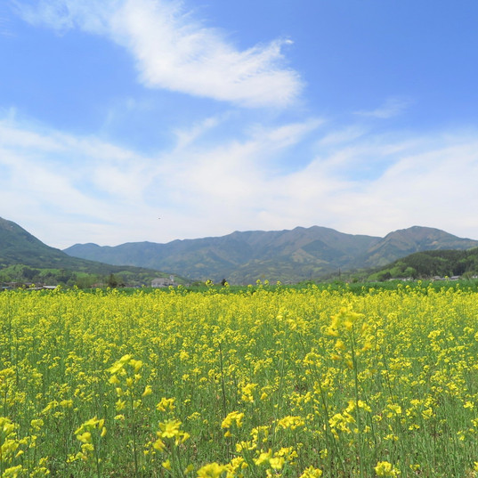 浦野の菜の花畑