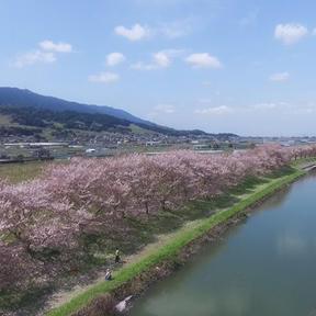 流川の2kmに及ぶ見応え抜群の『桜並木』