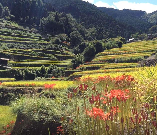 9月には約50万本の彼岸花が咲き誇ります