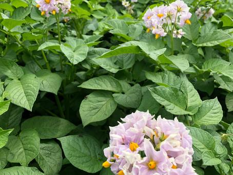 ジャガイモの花が咲きました🌼