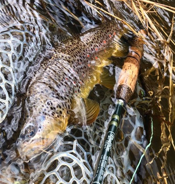 A brown trout caught with a streamer up Rock Creek, near Missoula Montana.