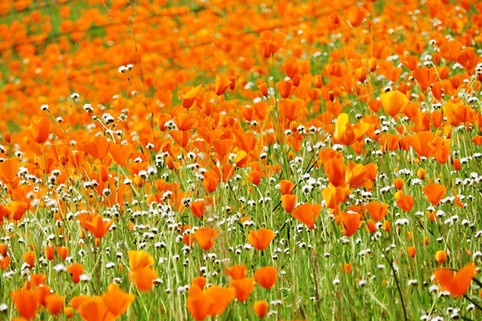 Electra Rd Poppies