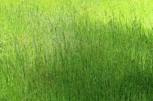 Tabeuad Grass