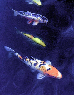 Koi at the Oakland Museum