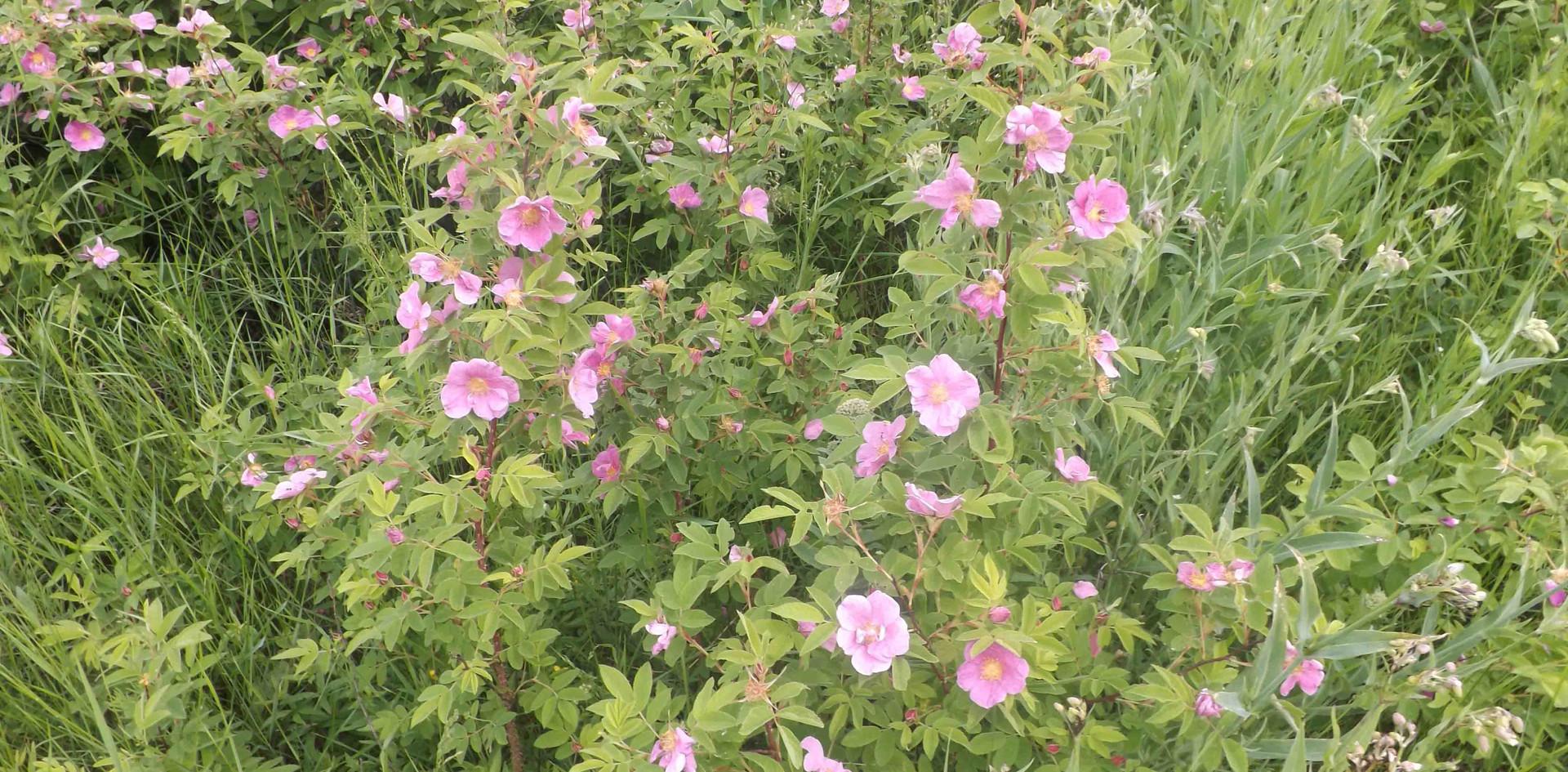 Цветы в Летнем Напасе. 2013.jpg
