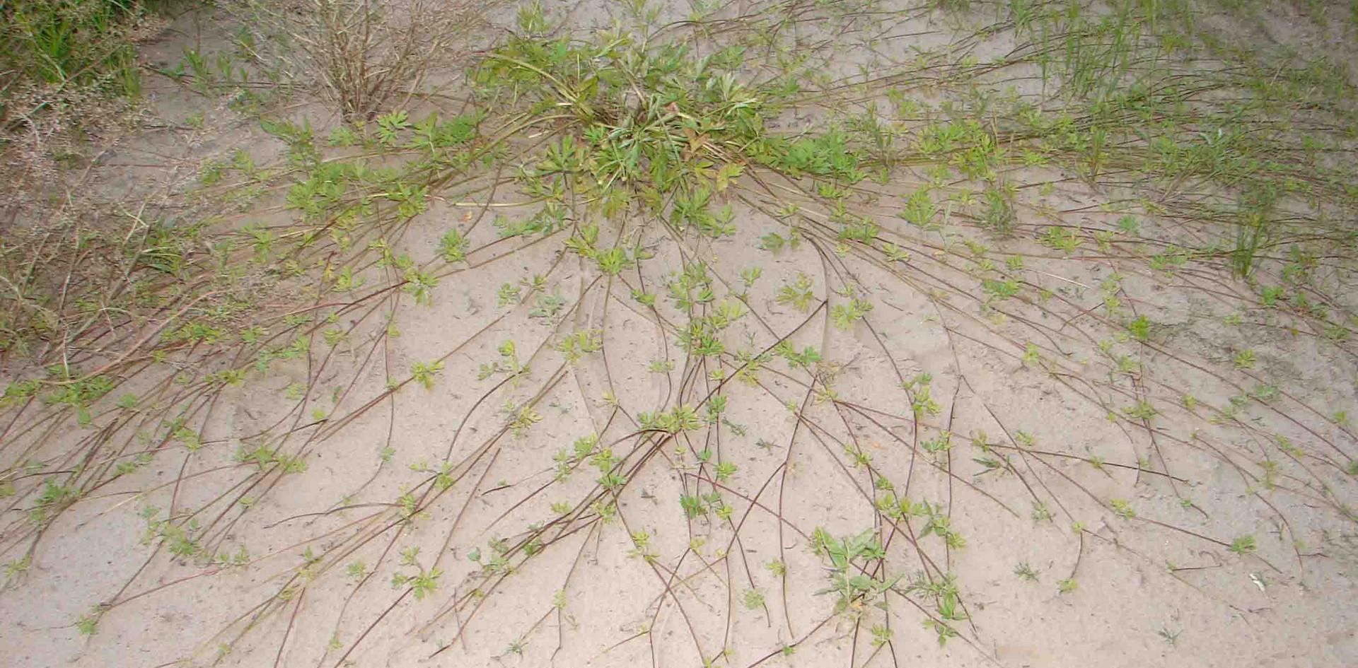 Растение на песке. 2006.