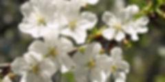 taimed-kirss-003.jpg