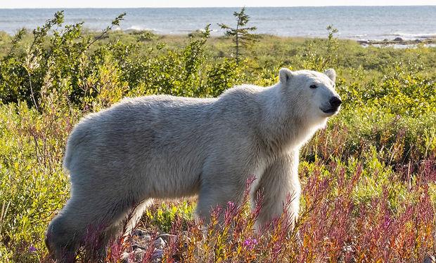 Polar bear shot for Boreal Conservation