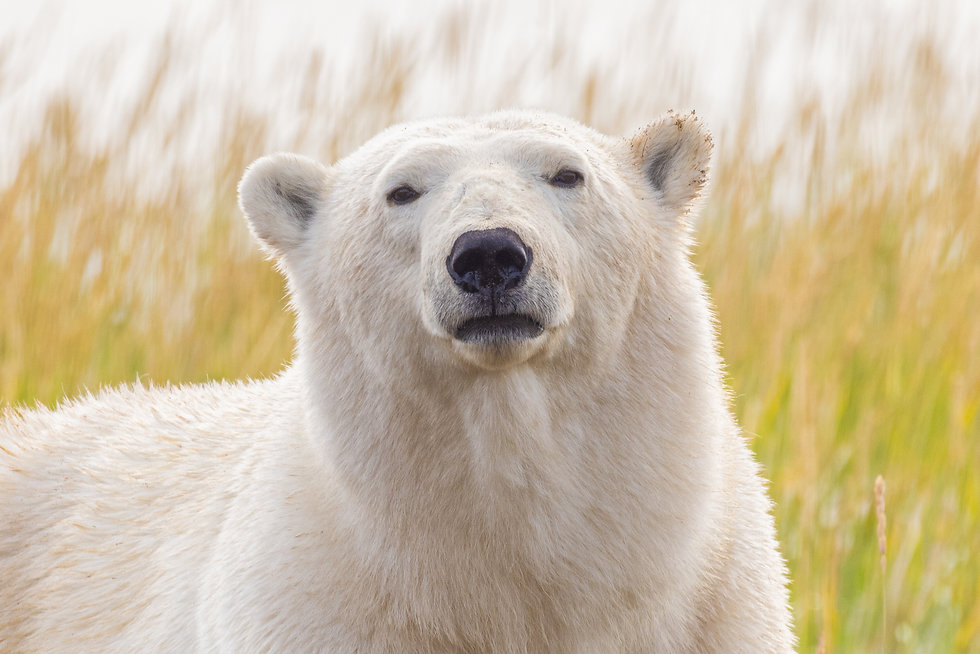 A polar bear with a scowl on its face, staring intently.