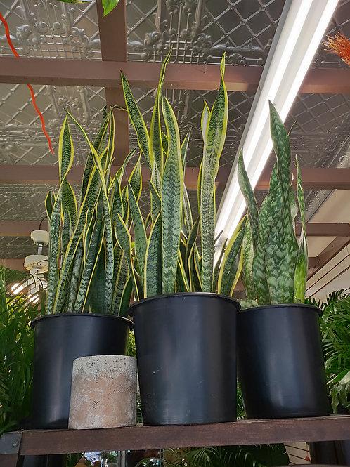 Snake Plant - 10inch