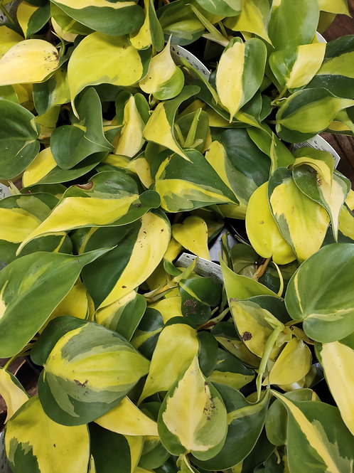 Brazil Philodendron - 3.5inch