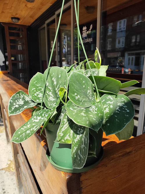 6inch Silver Satin Philodendron