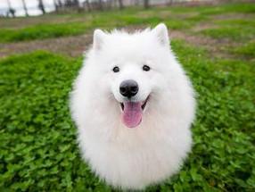 Raça de Cachorro Grande e Peludo: 10 Fofões que Você Precisa Conhecer