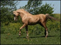 Rudolphs Golden Comanche
